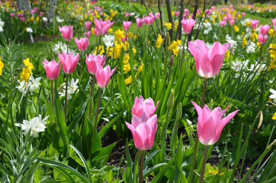 Leuchtend rosa Tulpen und Narzissen blühen in einem Garten